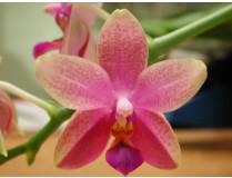 Phalaenopsis Liodoro 1