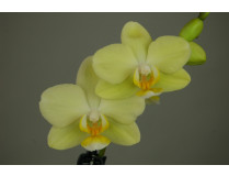 Phalaenopsis Little Lemon