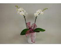 Weihnachts-Phalaenopsis