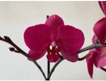 Phalaenopsis Parvarotti