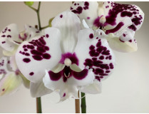 Phalaenopsis Sparkling 'Kizz'
