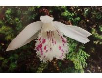 Pleione forestii 'white'
