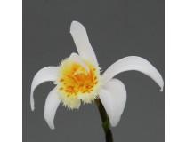 Pleione grandiflora 'yellow lip'