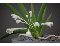 Podangis dactyloceras 1