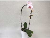 Präsentpflanze PG1, knospig-angeblüht (inkl. Übertopf)