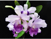 Rlc. Jairak Breeze