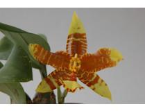 Rossioglossum inslayii