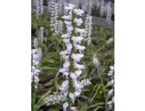 Spiranthes 'Chadd's Ford'