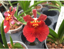 Tolumnia Jairak Flyer 'Red Butterfly'