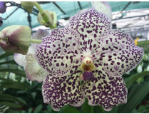 Vanda Blueberry Crunch