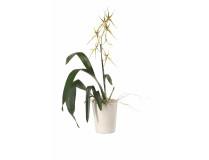 Brassia Hybride