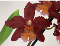 Wilsonara Red Ruby