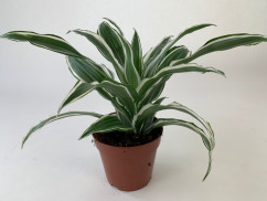 Dracaena fragrans 'White Jewel'