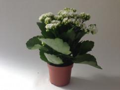 Kalanchoe blossfeldiana 'Calandiva White'