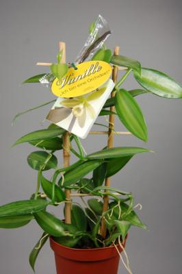 Vanilla planifolia 'variegata' (Rankegitter)