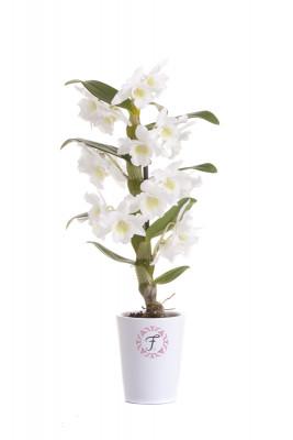Dendrobium Mini Spring Dream Apollon (6 cm Topf, inkl. Übertopf)
