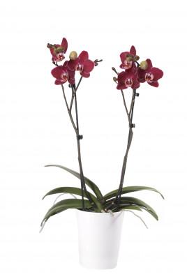 Phalaenopsis Elegant 'Debora' 2 Rispen (inkl. Übertopf)