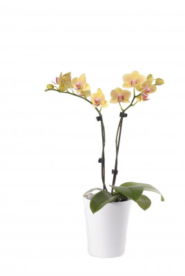 Phalaenopsis Office Orchid, gelb (inkl. Übertopf)