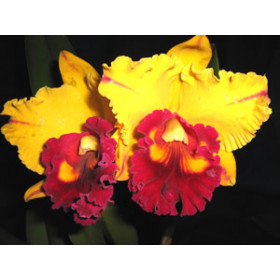 Brassolaeliocattleya Tainan Gold 'Siskin' (Jungpflanze)