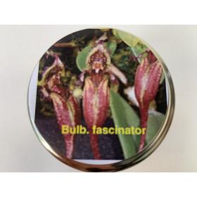 Bulbophyllum fascinator (im sterilen Glas)