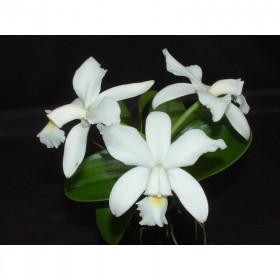 Cattleya violacea 'alba'