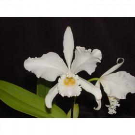 Cattleya warneri 'alba'