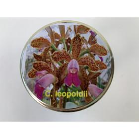 Cattleya leopoldii (im sterilen Glas)