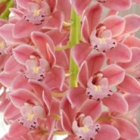 Cymbidium Cascade 'Sakura'