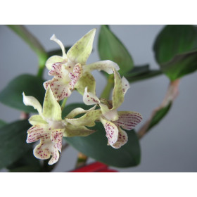Dendrobium abberans x polysema