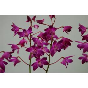 Dendrobium Berry Oda (10+ Rispen)
