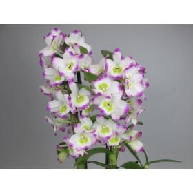 Dendrobium Irene Smile (2 Rispen)