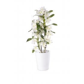 Dendrobium Spring Dream Apollon (inkl. Übertopf)