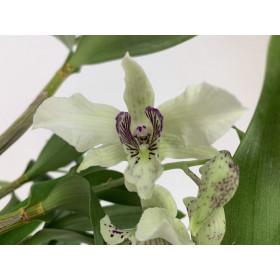 Dendrobium Nora Tokunaga