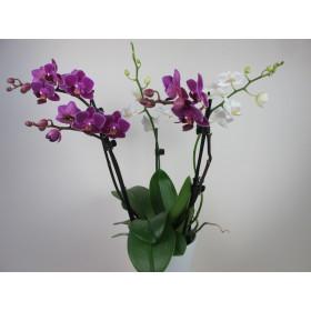 Doritaenopsis Confetti (3-4 Rispen)