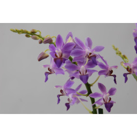 Doritaenopsis Purple Gem 'Aida' (Jgpfl.)
