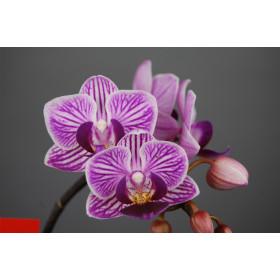 Doritaenopsis Sogo Roren