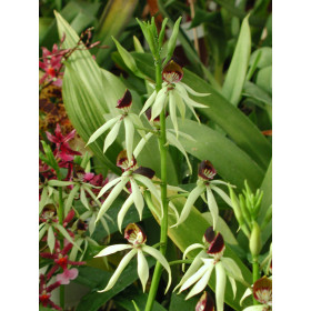 Encyclia cochleata (Jgpfl.)