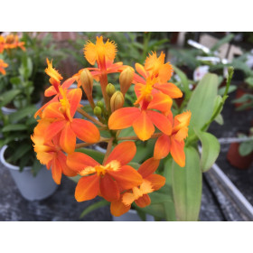 Epidendrum Ballerina 'Orange' (2-3 Stiele)
