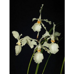 Holcoglossum subilifolium