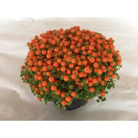 Korallenmoos (Nertera granadensis)