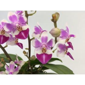 Doritaenopsis Skywalker
