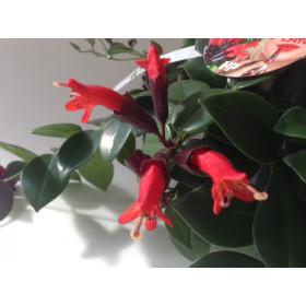 Aeschynanthus Lipstick 'Twister'