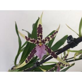 Brassia Verona (2-3 Rispen)
