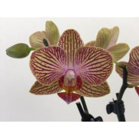 Phalaenopsis Little Orange Stripes
