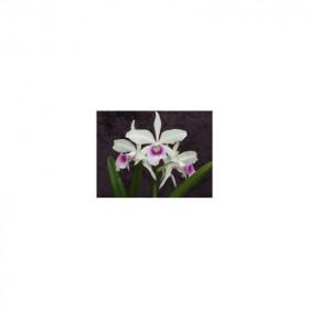 Laelia purpurata 'argolao'