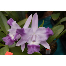 Laeliocattleya Cariad's Mini Queenie 'Angel Kiss' (Jungpfl.)
