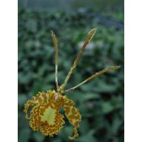 Psychopsis Butterfly (Jgpfl.)