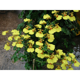 Oncidium Grower Ramsey 'Compact'