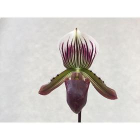 Paphiopedilum Maudiae coloratum