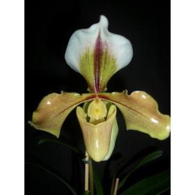 Paphiopedilum villosum
